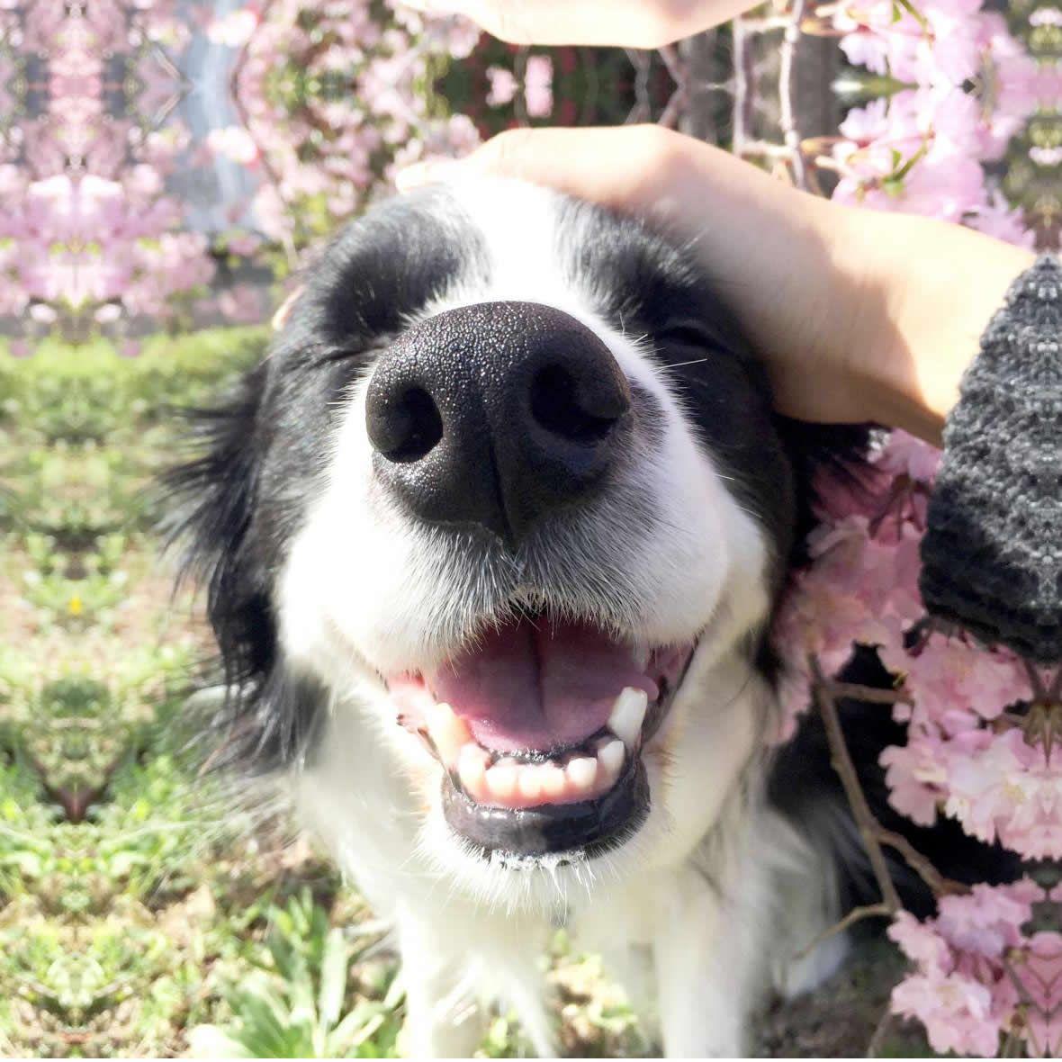 Resultado de imagen de border collie 犬 綺麗な
